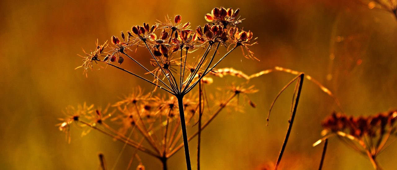 Autumn Seed Heads