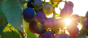 Grapes with Sun shining through