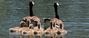 Family of geese on the water - Image by S. Hermann & F. Richter from Pixabay